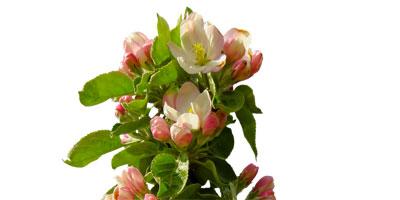 Apfelbäumchen mit Blüten