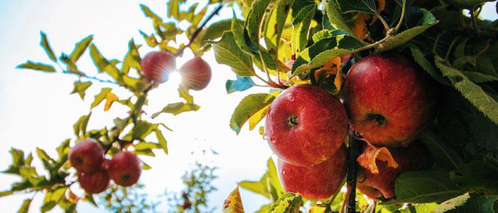 Apfel auf Holztisch