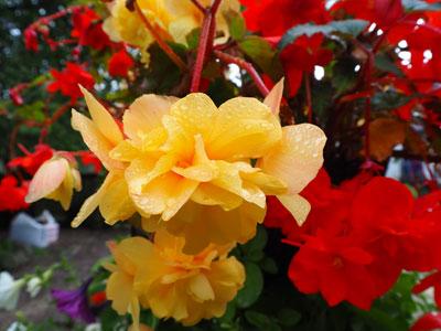 Rote und gelbe Blumen